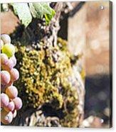 Champagne Grapes Closeup Acrylic Print