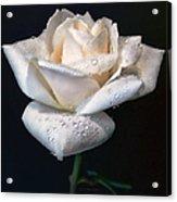Champagne Rose Flower Macro Acrylic Print