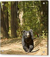 Chance Encounter With The Hairy One Acrylic Print