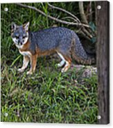Channel Island Fox Acrylic Print