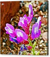 Chaparral Pea In Painted Desert Of Petrified Forest National Park-arizona  Acrylic Print