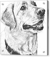 Charcoal Drawing Yellow Lab In Profile Acrylic Print
