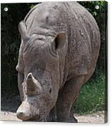 Waco Texas Rhinoceros Acrylic Print