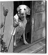 Charleston Shop Dog In Black And White Acrylic Print