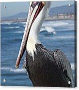 Charlie The Pelican Acrylic Print