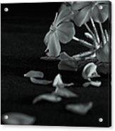 Charm Is Deceptive... Beauty Fleeting Acrylic Print