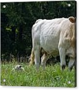 Charolais Cow And Calf In Field Acrylic Print
