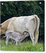Charolais Cow Nursing Calf Acrylic Print
