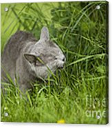 Chartreux Cat And Grass Acrylic Print