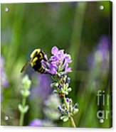 Chasing Nectar Acrylic Print