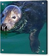 Chatham Harbor Seal Acrylic Print