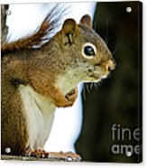 Chatty Squirrel Acrylic Print