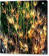Cheat Grass 15750 Acrylic Print