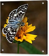 Checkered Skipper Square Acrylic Print
