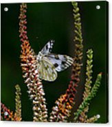 Checkered White On An Indigo Acrylic Print
