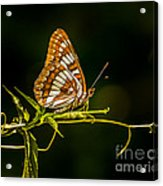 Checkerspot Butterfly Acrylic Print