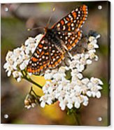 Checkerspot Butterfly On A Yarrow Blossom Acrylic Print