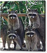 Cheerleading Raccoons Acrylic Print by Kym Backland