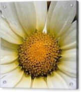 Cheery Daisy  Acrylic Print
