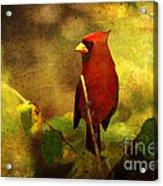 Cheery Red Cardinal  Acrylic Print