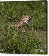 Cheetah   #0095 Acrylic Print