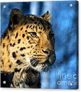 Cheetah Acinonyx Jubatus Acrylic Print