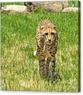 Cheetah Approaching Acrylic Print