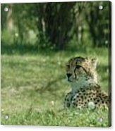Cheetah At Attention Acrylic Print