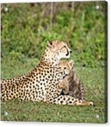 Cheetah Cub Acinonyx Jubatus Playing Acrylic Print