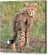 Cheetah Cub Looking Your Way Acrylic Print