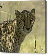 Cheetah Gaze Acrylic Print