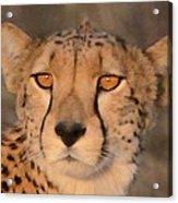 Cheetah Gaze At Sunset Acrylic Print