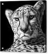 Cheetah In Black And White Acrylic Print