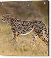 Cheetah In Grassland Kenya Acrylic Print