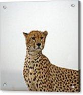 Cheetah In Serengeti. Acrylic Print
