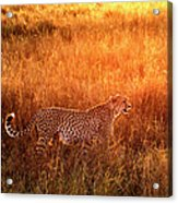 Cheetah In The Grass At Sunrise Acrylic Print
