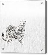 Cheetah In The Grass Acrylic Print by Mike Gaudaur
