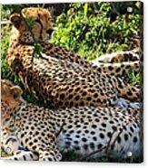 Cheetah - Masai Mara - Kenya Acrylic Print