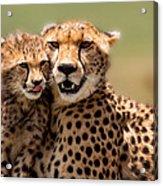 Cheetah Mother And Cub In Masai Mara Acrylic Print