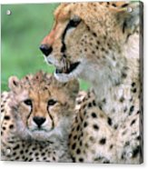 Cheetah Mother And Cub Acrylic Print