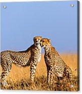 Cheetah Mother With Daughter Masai Mara Acrylic Print
