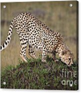 Cheetah On Termite Mound Acrylic Print