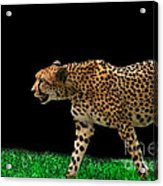 Cheetah On The Prowl Acrylic Print