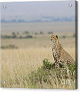 Cheetah Perched On A Mound Acrylic Print