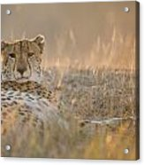 Cheetah Prepares To Sleep Acrylic Print