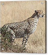 Cheetah Ready For The Off Acrylic Print