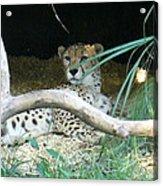 Cheetah Resting  Acrylic Print
