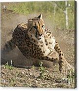 Cheetah Run 2 Acrylic Print