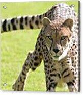 cheetah Running Portrait Acrylic Print