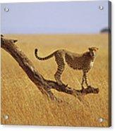 Cheetah Standing On Dead Tree Acrylic Print